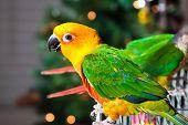 Cute Sun Conure Parrot and Green Cheek Parakeet poster