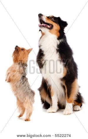 Australian Shepard And Silky Terrier