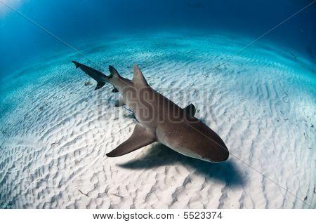 A hovering Lemon Shark in the Bahamas November 2008 poster