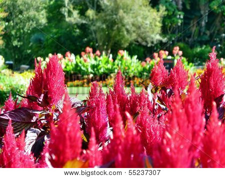 Red Plants In Front Of Flower Beds In A Park