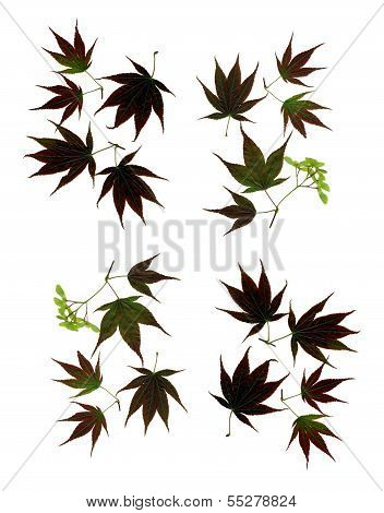 leaves of japanese maple as composition for background