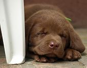 Sleeping chocolate lab puppy poster