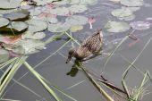 Duck hunting for food in Gaarsten lake poster