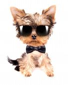 cute puppy dog wearing a neck bow and shades, sitting on white background poster
