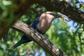 A Blue-Bellied Roller (Coracias cyanogaster) with a large grasshopper perched in a tree poster