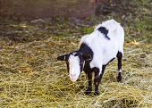 cute black and white goat eating hay poster