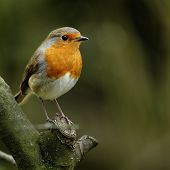 A portrait of an adult Eurasian Robin (Erithacus rubecula) perching openly on a tree branch. poster