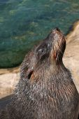 beautiful cape fur seal sitting on a rock in bright sunshine poster