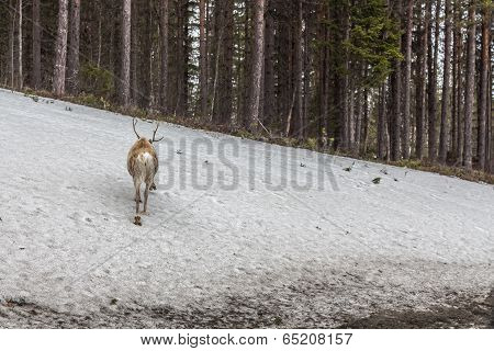 Reindeer Loking For The Flock