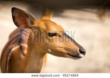 close-up portrait of beautiful  bambi