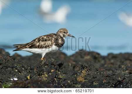 A Ruddy Turnstone (Arenaria interpres) standing on rocks at low tide poster