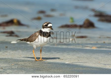A Smart Looking Ringed Plover (charadrius Hiaticula) On The Beach