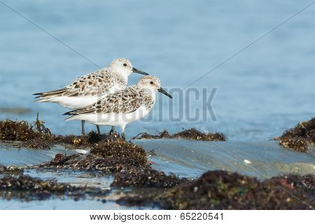 Two Sanderling (Caladris alba) standing on seaweed with the tide coming in poster