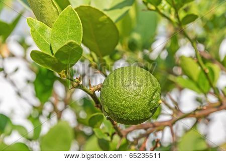 Green Lemon On Lemon Tree