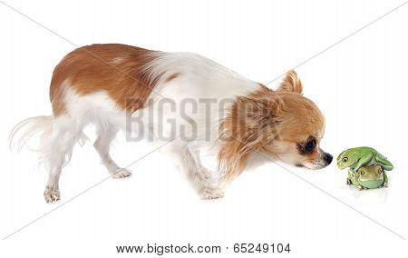 Phyllomedusa Sauvagii And Chihuahua