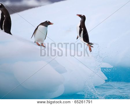 Gentoo Penguin Torpedoing out of water onto iceberg