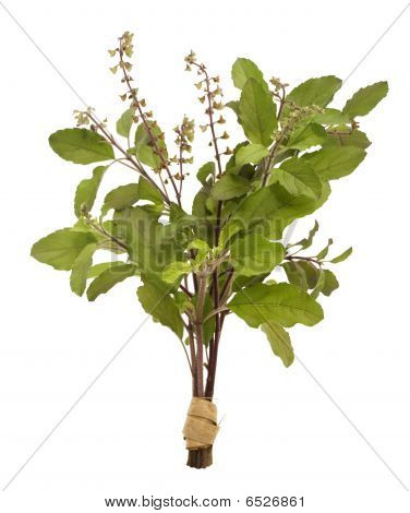 Bunch of holy basil tulasi isolated with clipping poster