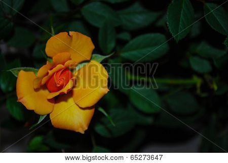 Orange Rose Blossom