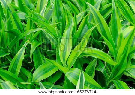 Ribbon Dracaena Leaves Background