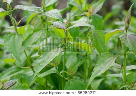 Siam weed or Ageratum houstonianum in thailand poster