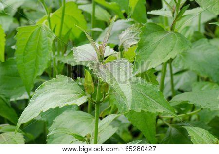 Siam Weed Or Ageratum Houstonianum