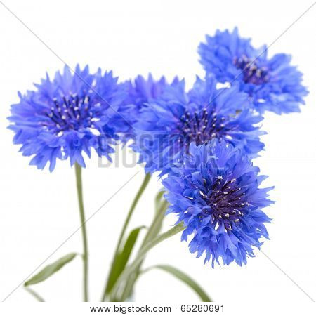 Blue cornflower. Flower bouquet isolated on white. poster