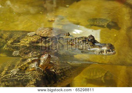 Crocodile Portrait With Turtles