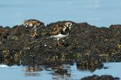 A Ruddy Turnstone (Arenaria interpres) on exposed rocks at low tide poster