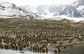 A crowded King Penguin colony and some seals between the sea and mountains - South Gorgia. poster