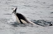 Killer Whale Playing with Gentoo Penguin before eating it poster