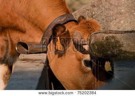 picture of a cow drinking from a drinking trough poster