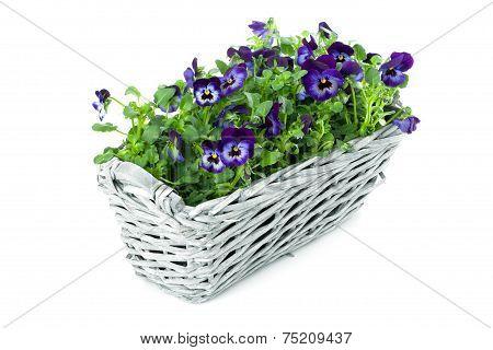 Sweet Pansies In Plait Basket