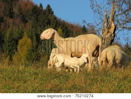 Mother Sheep Breastfeeding Her Lamb In The Midst Of The Flock In The Mountains
