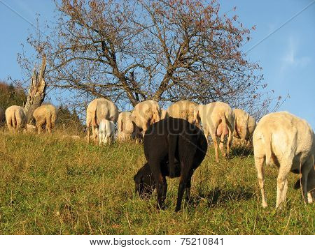 Black Sheep In The Midst Of The Flock With Many Other White  Sheep