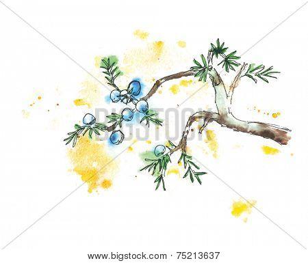 Branch of juniper tree, watercolor vector illustration