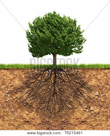 Big Green Tree With Roots Beneath
