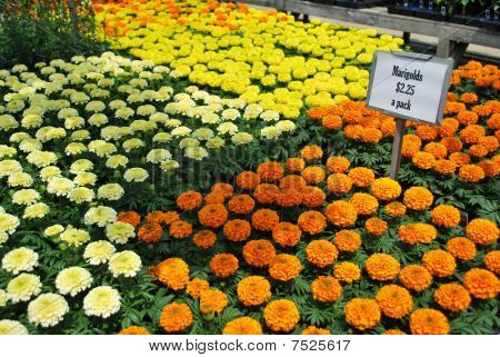 Marigolds for sale