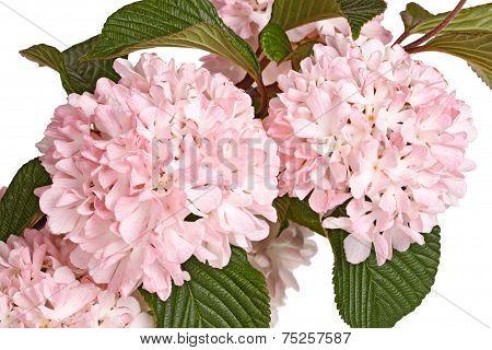 Flowering Branch Of Snowball Viburnum (viburnum Plicatum) Isolated On White