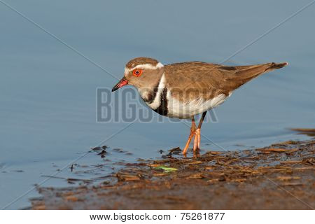 Threebanded plover (Charadrius tricollaris), Kruger National Park, South Africa