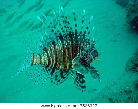 Lionfish (Devil Firefish)
