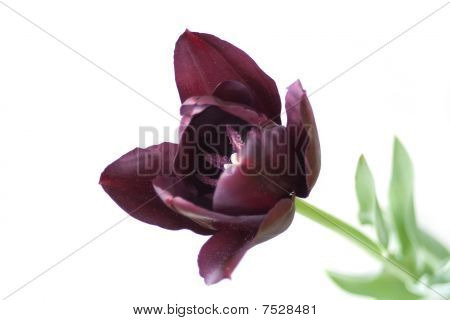 Black Tulip Isolated On White