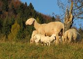 mother sheep breastfeeding her little lamb in the midst of the flock in the mountains poster