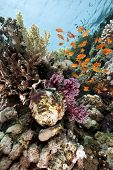 giant clam and fish in the Red Sea poster