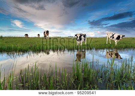 Cows On Pasture By River