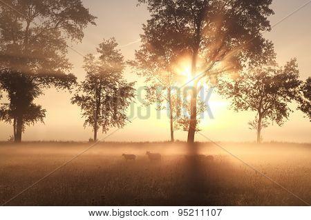 Foggy Sunrise On Pasture With Sheep
