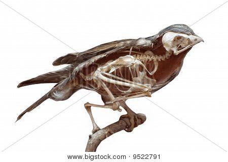 dissected stuffed bird