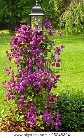 Clematis on the Lamp Post