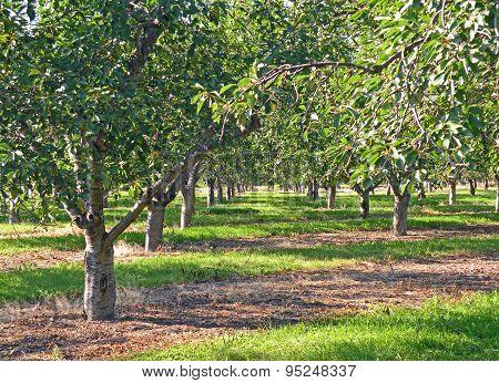Mature Cherry Orchard