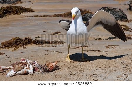 Greater Black-backed Gull..