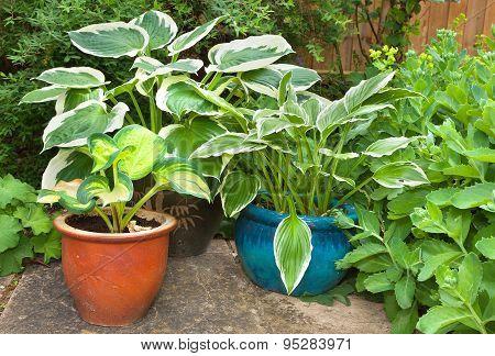 Hosta Planter Against A Green Foliage Background
